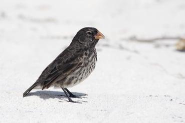 """""""Darwin finch"""" in the Galapagos"""